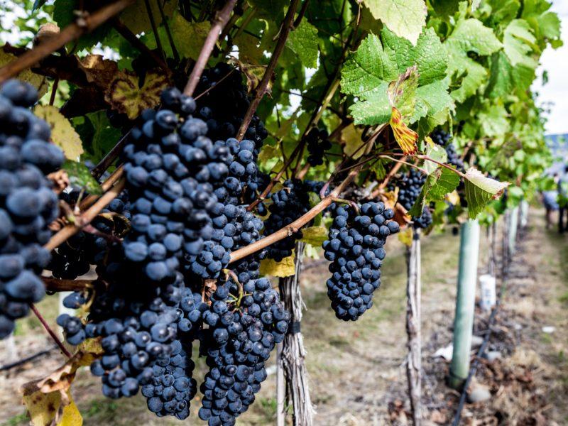 SB grapes